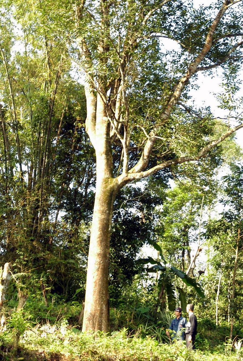 Aquilaria_crassna_tree